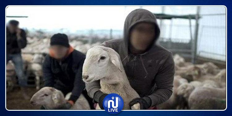صفاقس: الإطاحة بعصابة مختصة في سرقة المواشي