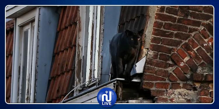 فرنسا: نمر أسود يتجول فوق أسطح المنازل