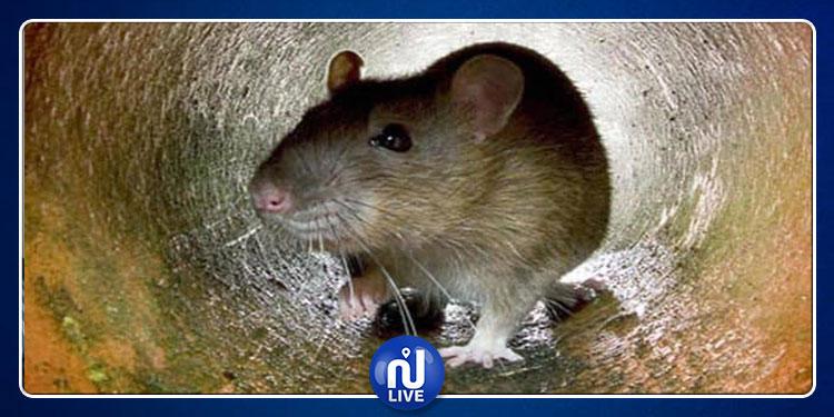 نيويورك تحارب الفئران بـ''الكحول''