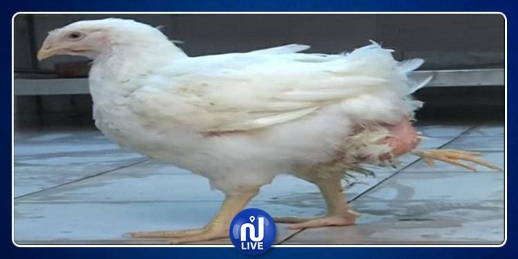 بنزرت: دجاجة بأربعة أرجل تثير دهشة المواطنين (صور)