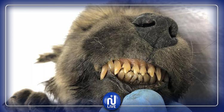بفرائه و أسنانه: العثور على كلب عمره 18 ألف سنة
