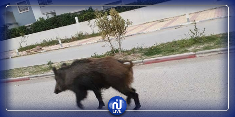 منوبة: قطعان من الخنازير البرية تتجول قرب مناطق العمران و الطرق الرئيسية