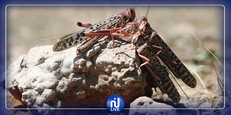 الجراد الصحراوي يكتسح أبو ظبي