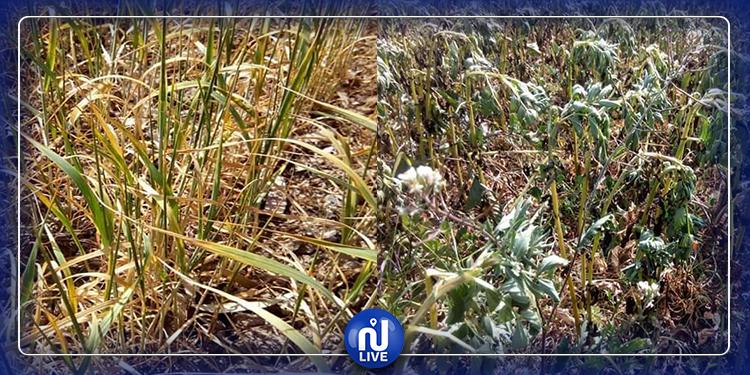 الكاف: شح الأمطار يهدد  موسم الزراعات الكبرى (صور)