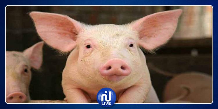 جراح بريطاني يؤكد إمكانية زراعة قلوب الخنازير في أجسام البشر