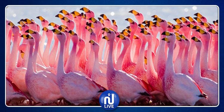 طائر الفلامنغو يستوطن تونس بأعداد غير مسبوقة
