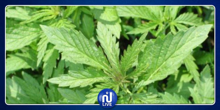السيجومي: القبض على شخص زرع الماريخوانا في منزله