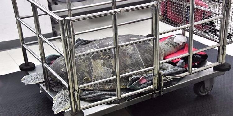 تايلاندا : بياطرة ينقذون سلحفاة من الموت بعد ابتلاعها 915 قطعة نقدية !