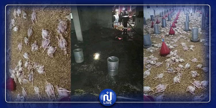 نابل: نفوق حوالي 8 آلاف دجاجة احتراقا واختناقا