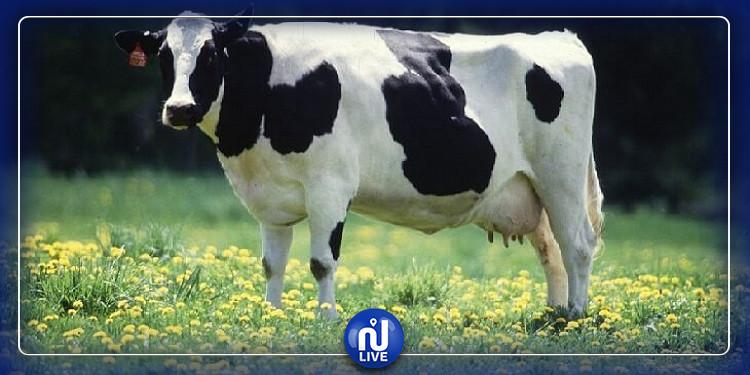 جائحة جديدة تهدد الأبقار في سوريا (صور)