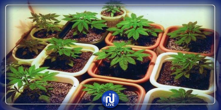 راس الجبل: يزرع 'الماريخوانا' في حديقة منزله