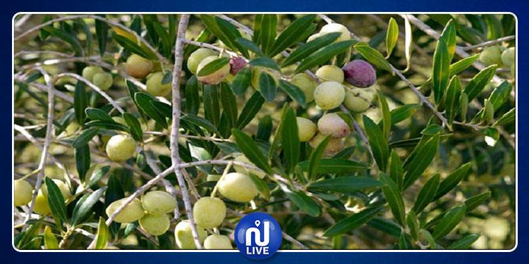 مصدرو الزيت: نخشى أن تبقى صابة الزيتون على رأس أشجارها