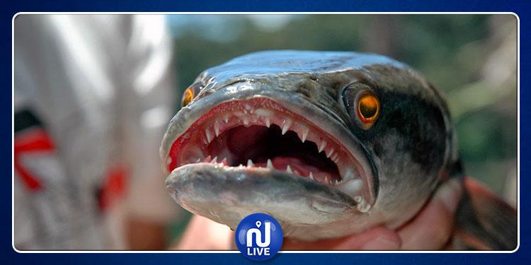 تعيش في الماء والأرض.. انتشار سمكة رأس الأفعى يثير المخاوف  !
