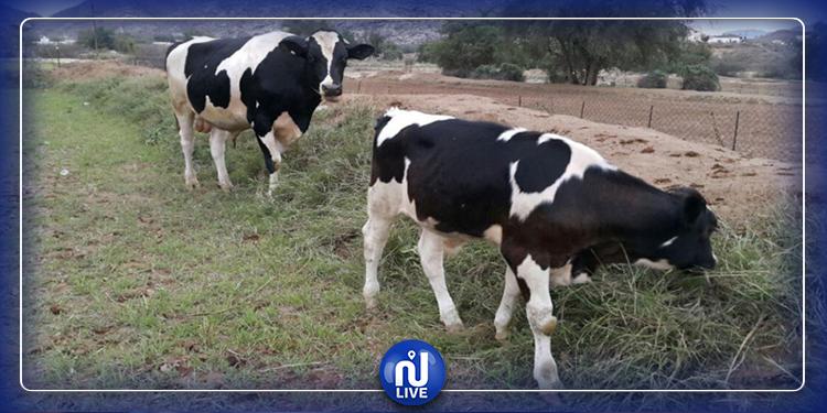 السلّ يهدّد قطاع تربية الأبقار