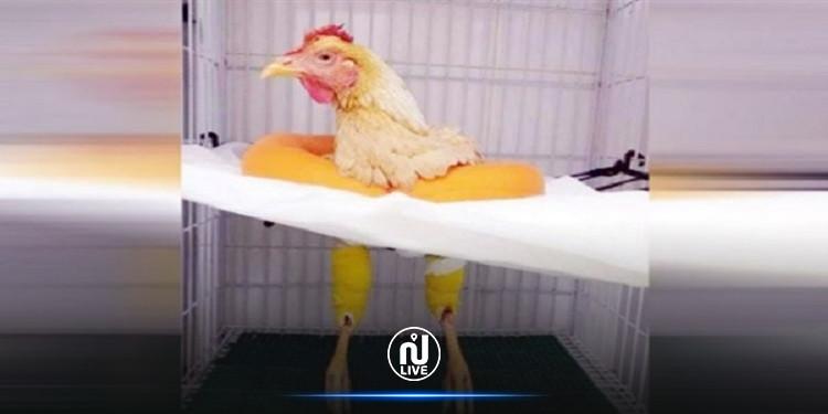 تدخّل جراحي عاجل لانقاذ دجاجة (فيديو)