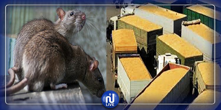 الفئران تلتهم 2.7 ألف عربة من الحبوب !