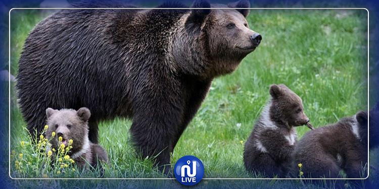 Aux USA, il est désormais possible de chasser les bébés ours et loups