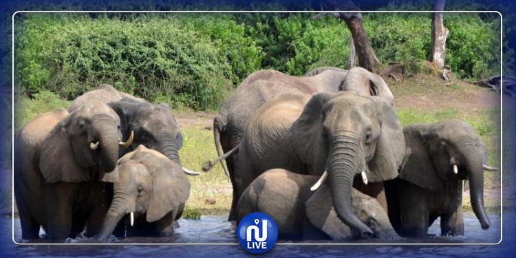 Botswana : mort suspecte de 101 éléphants