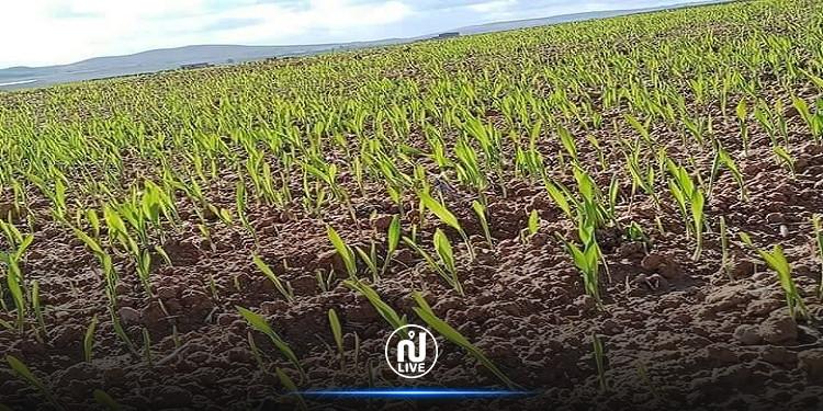 الكاف: توقعات بموسم واعد للزراعات الكبرى(صور)