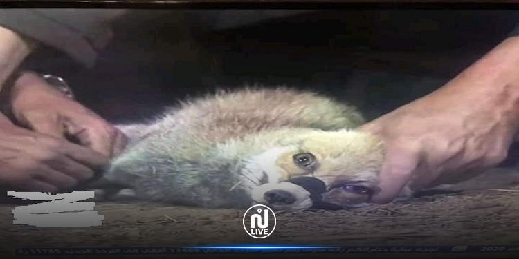 الحيوان بكى ولم ترحمه: ريهام سعيد تعذب ثعلبا أمام الكاميرات وحملة غضب تلاحقها