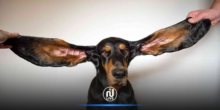 كلب يدخل موسوعة غينيس بأطول أذنين في العالم