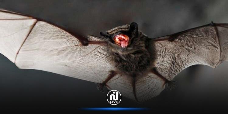 دراسة : أكثر من 140 نوعا من فيروسات كورونا في الخفافيش لا علاقة لها بـ''كوفيد -19''
