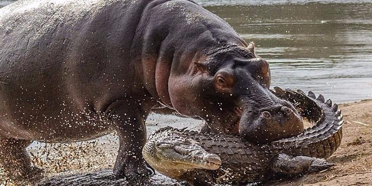 قطيع من أفراس النهر يفتك بتمساح هاجم صغارهم (صورة)
