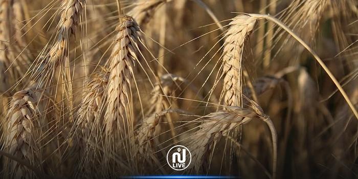 الكاف: توقعات بخسارة 60 % من صابة الحبوب
