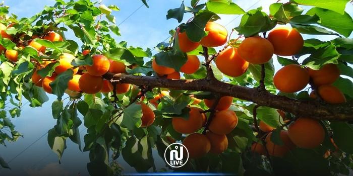 القصرين : فلاح يفقد نصف محصوله من المشمش بسبب نقص اليد العاملة الفلاحية