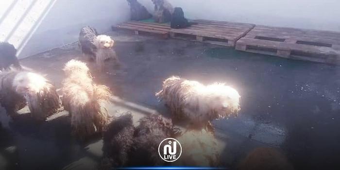 سليمان: جمعيات خيرية تتبنى مجموعة من الكلاب السائبة وتنقلها إلى فرنسا وكندا