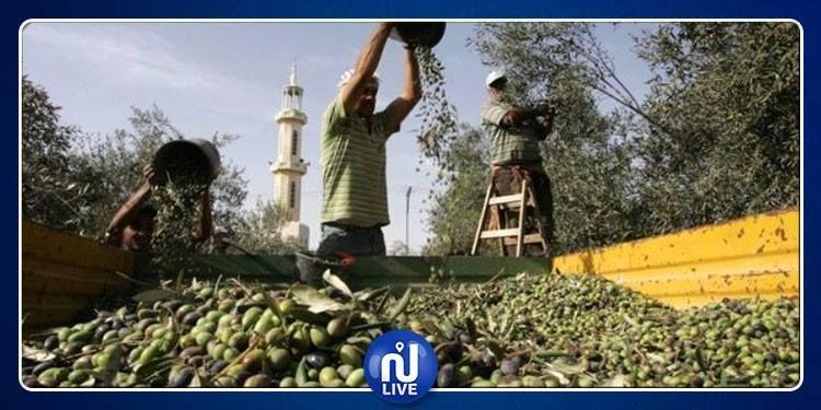 أريانة: افتتاح موسم جني الزيتون وتوقعات بإنتاج 1900 طنا