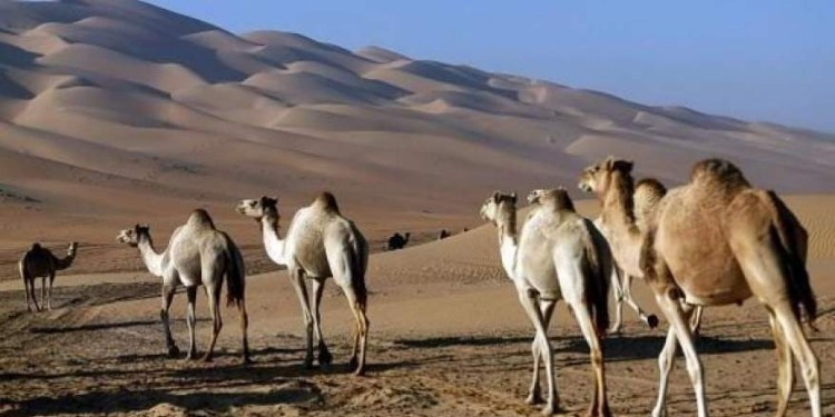 السعودية تفرض زرع رقائق الكترونية في الإبل