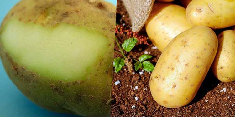 Les pommes de terre vertes sont-elles consommables ?