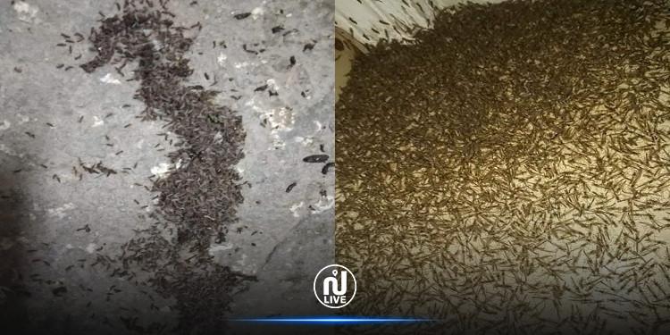 بلدية بنان بوضر تستنفر بعد غزو جحافل ''الوشواشة'' والحشرات المنطقة