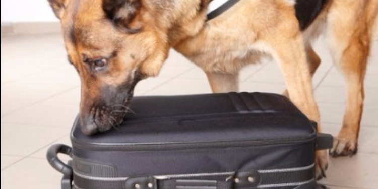اختراع أنف اصطناعي يحاكي أنوف الكلاب المدّربة في كشف المخدّرات