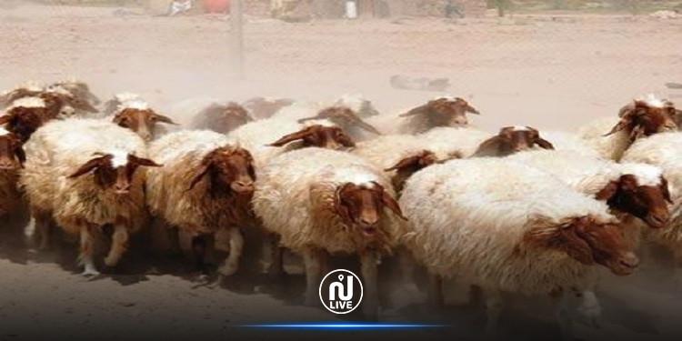 الكاف: إحباط عملية تهريب لـ 92 رأس غنم من القطر الجزائري نحو تونس