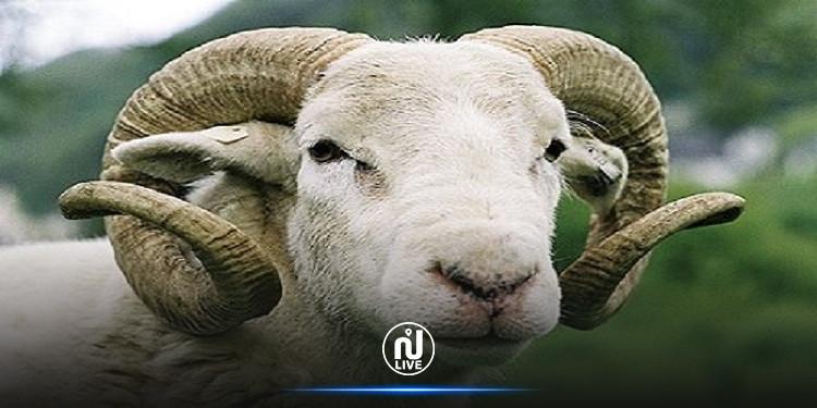 رئيس الاتحاد التونسي للفلاحة يُطمئن التونسيين بوفرة إنتاج أضاحي العيد