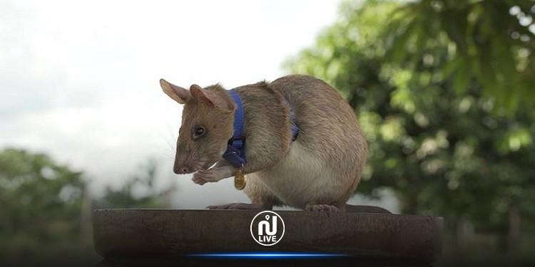 ''الفأر البطل'' يتقاعد بعد 5 سنوات من العمل