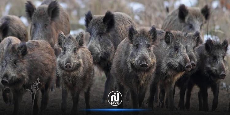 العاصمة: مجموعة من الخنازير تغزو حي النصر (صور)