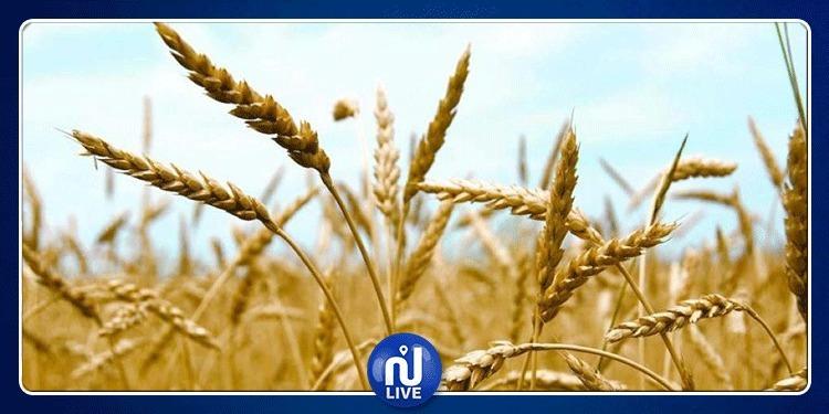 Kef : Plus de 2,5 millions de qx de céréales prévus