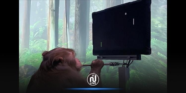قرد يمارس لعبة  ''بينغ بونغ'' بالتحكم فيها من خلال شريحة بدماغه