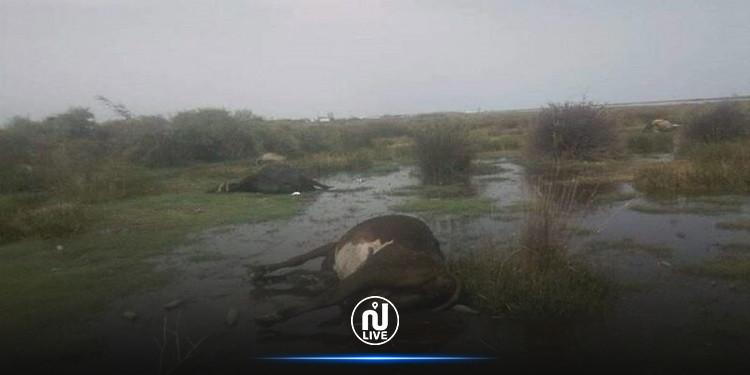 بعد نفوق قطيع أبقار: وزارة الفلاحة تحذّر من الإقتراب من سبخة تازركة