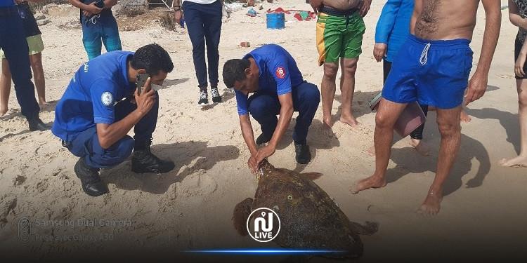 شاطئ الحمامات: إنقاذ سلحفاة بحرية ضخمة