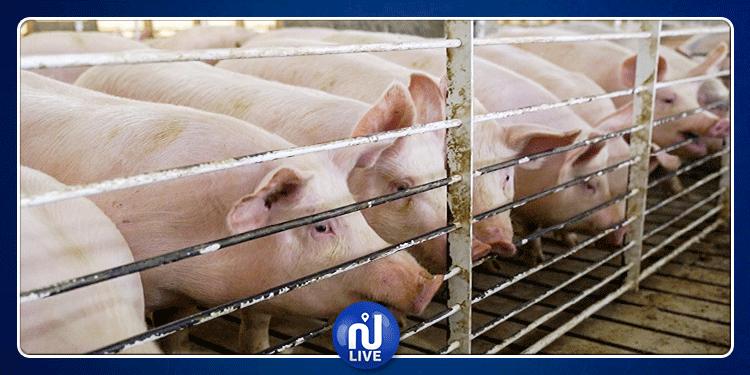 إعدام أكثر من 900 ألف خنزير في الصين !