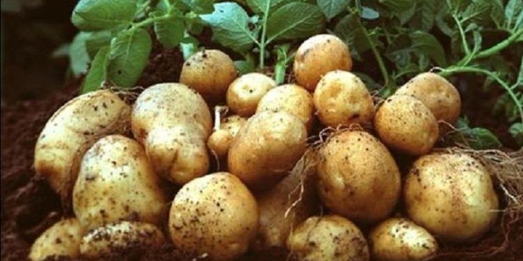 نابل: زراعة حوالي 3 آلاف هكتار من البطاطا الفصلية وتشكيات من الأسعار والبذور
