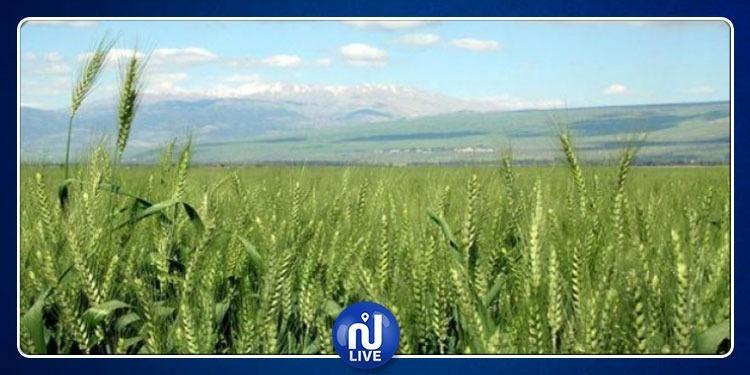 الكاف: تسجيل أضرار في حوالي 350 هكتار من مزارع الحبوب بسبب الأمطار