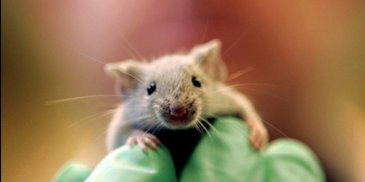 في هذه الدولة الإفريقية.. الفئران تُشخّص مرض السلّ!