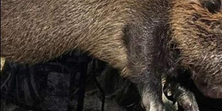 كاليفورنيا: إكتشاف فئران ضخمة تزن 9 كيلوغرامات!