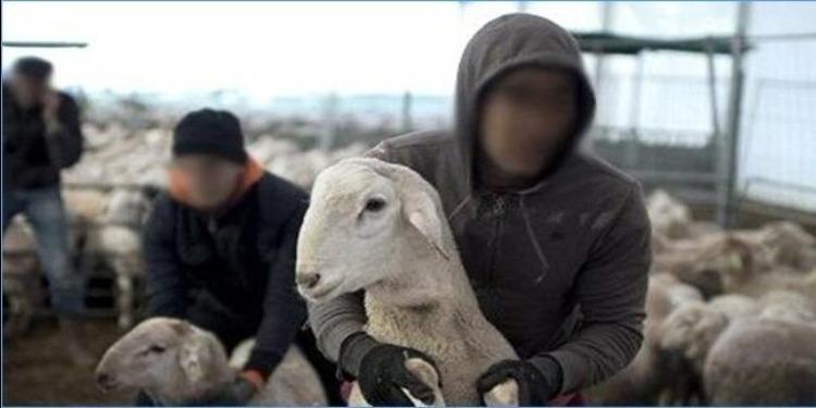 المنستير: القبض على منحرف قام بسرقة 40 رأس غنم