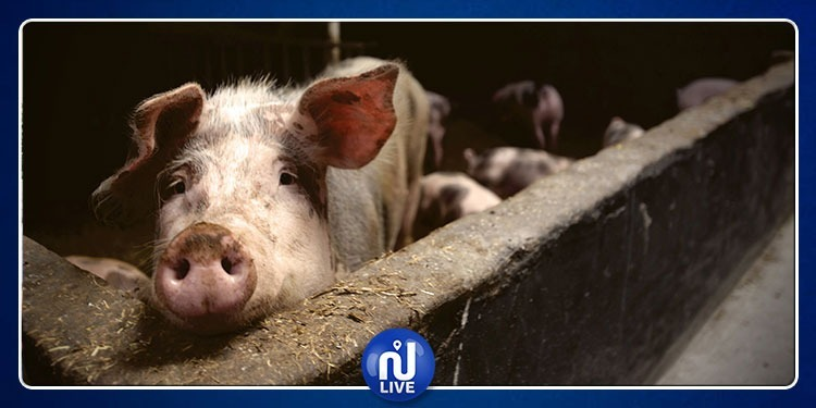 المغرب: 11 قتيلا بسبب انفلونزا الخنازير
